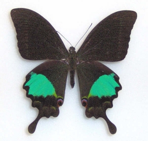 Papilio paris gadeensis (male)