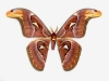 Attacus atlas (m�le)