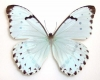Morpho catanarius (male)